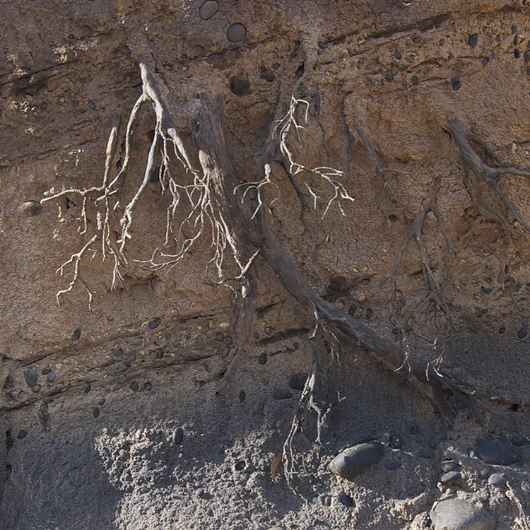 G38 Wyoming Mudstone With Roots